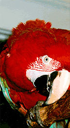 Peter the Macaw